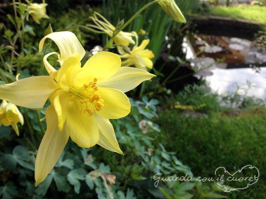 fiore-di-aquilegia